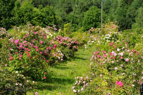 Ruusujen koepelto