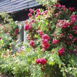 Talon seinustalla kukkivat komeat