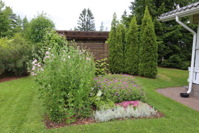 Tätä perennaryhmää hallitsee korkea harmaamalvikki (Lavatera thuringiaca), joka kukkii heinäkuulta aina syksyyn saakka. Vielä innokkaampi kukkija on vieressä kasvava verikurjenpolvi (Geranium sanguineum), sillä siinä riittää kukkia lähes koko kesäksi. Taustalla on ryhmä timattituijia (Thuja 'Smaragd').