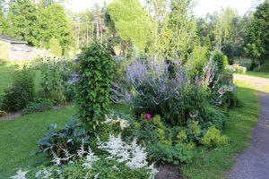 Pihatietä reunustavat lukuisat eri perennat. Kukintavuorossa ovat valkoiset jaloangervot (Astilbe) sekä korkea virginiantädyke (Veronicastrum virginicum) liiloine kukkatähkineen.