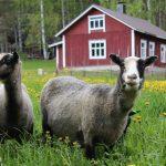 Laiduntavat lampaat Hiidenmaalla pitävät perinnemaisemia avoimina ja kasvillisuuden matalana. Kuva: Mirja Nylander / Metsähallitus