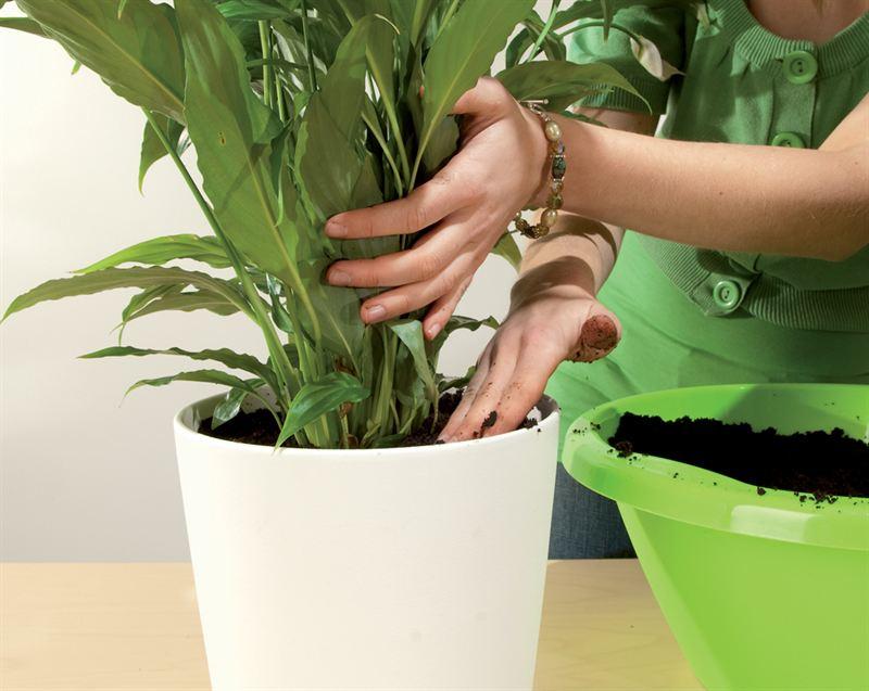 5.Valuta juuripaakun reunoille uutta multaa ja tiivistä se hellävaraisesti sormin painelemalla. Ruukun pinnalle jätetään kunnollinen kasteluvara.