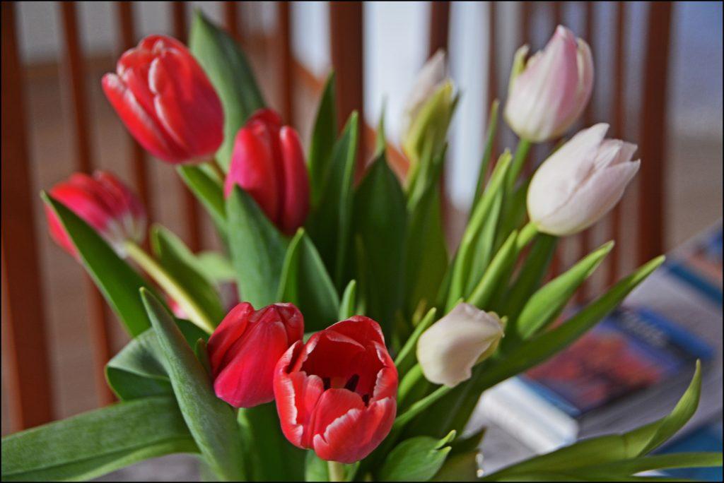 Kevättä kohti ollaan menossa - tulppaanit ovat siitä varma merkki.