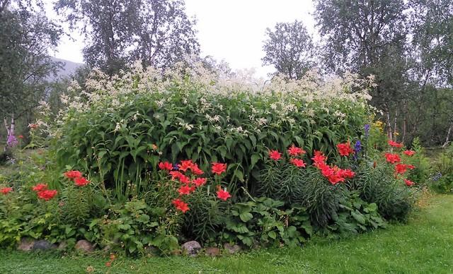 Elokuussa perennaryhmässä ovat pääosissa suomenröyhytatar (Aconogonon × fennicum) ja tarhasarjaliljat (Lilium-lajike).