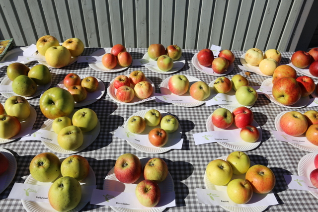 'Mannerheimin Omenaa' tullaan istuttamaan myös Lohjansaaren Fruticetumiin, jossa on laaja kokoelma vanhoja omenalajikkeita.