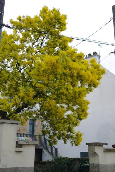 mimosa003