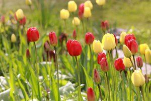 Tulppaanit kukkivat 1