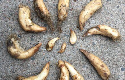 Hundtandliljans rotknöl liknar tänder.